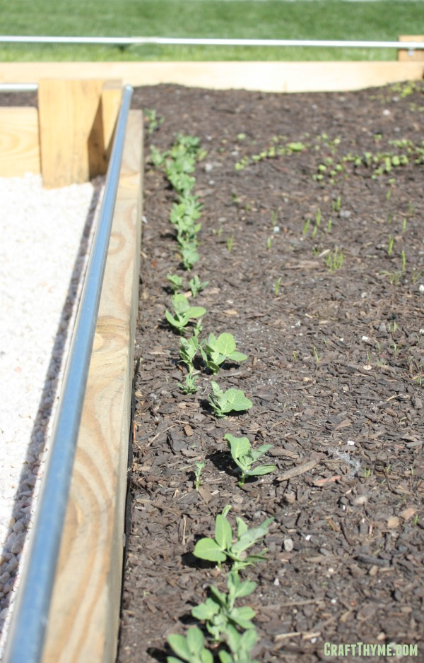 Raised beds with peas