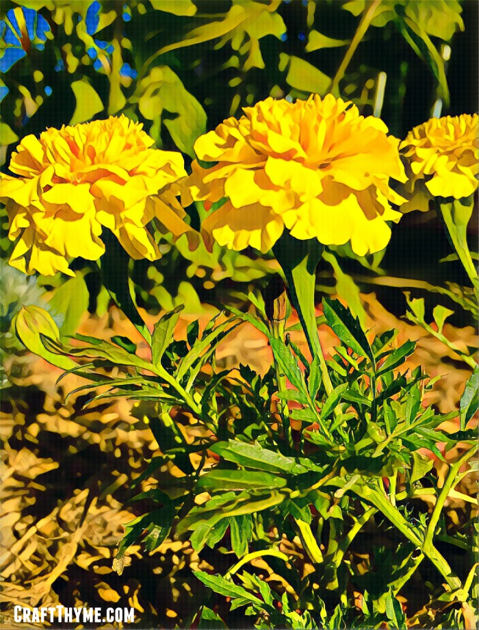 Every garden can use Marigolds. Find out these fun facts about why you need to add marigolds