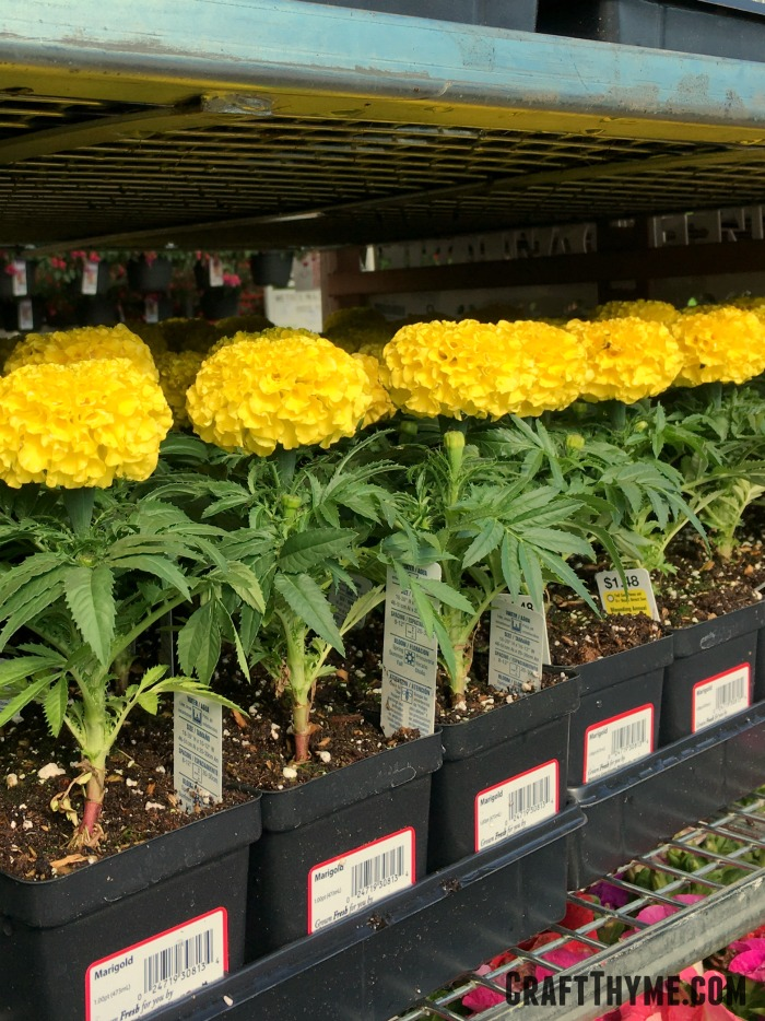 Growing marigolds is easy, but you can always buy them in most garden centers