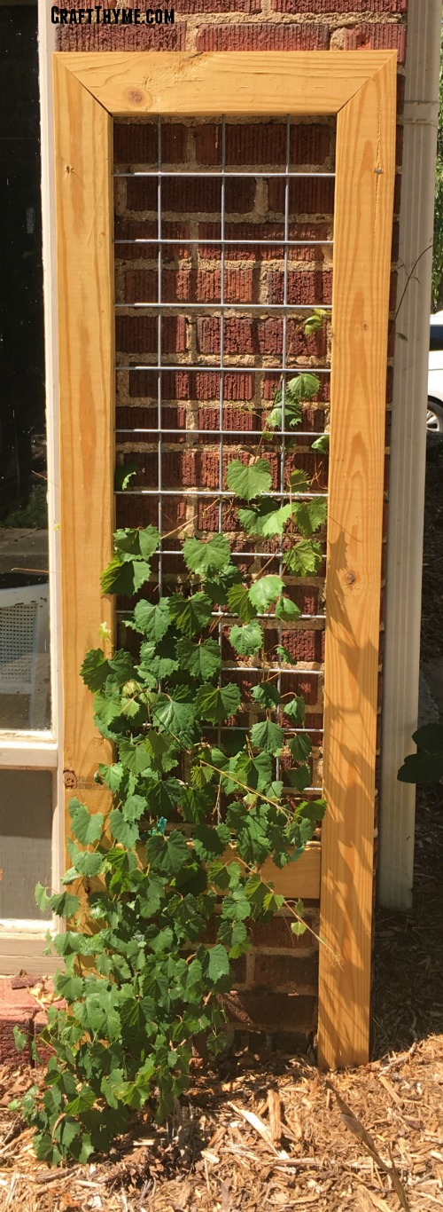 Small goat wire trellis with muscadine grape