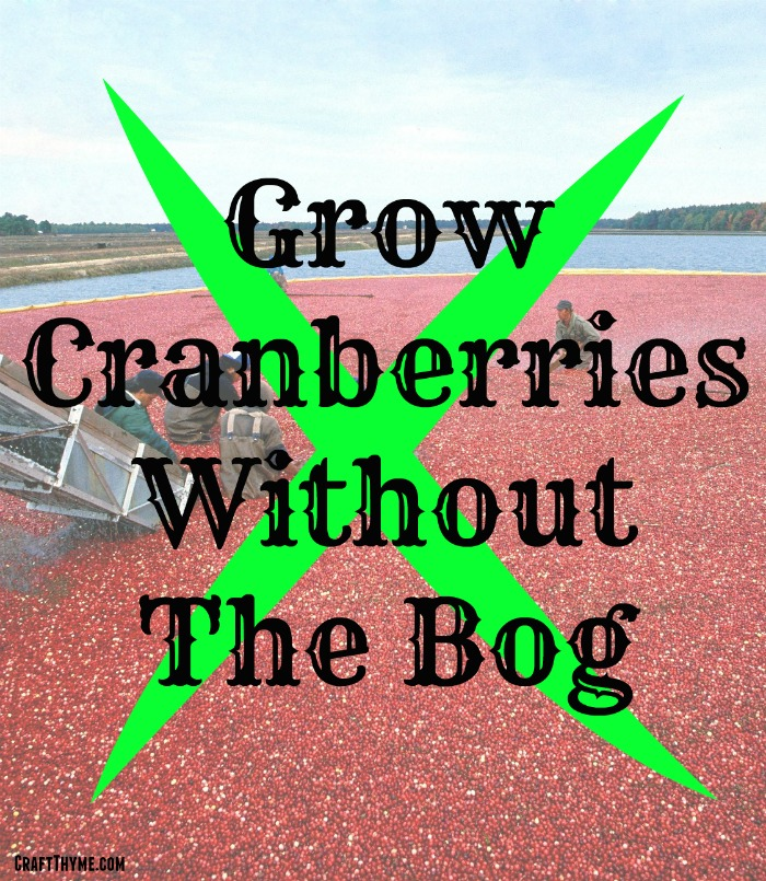 You do not need a flooded bog to grow cranberries. You can grow a cranberry plant as a pretty perennial ground cover in zones 2-7.