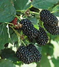 THE Perennial berry list with over 30+ berries you can grow in temperate climates: Blackberries