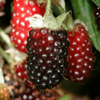 THE Perennial berry list with over 30+ berries you can grow in temperate climates: Boysenberry