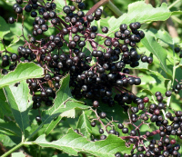 THE Perennial berry list with over 30+ berries you can grow in temperate climates: Elderberries