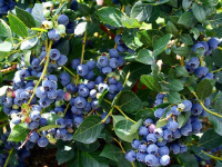 THE Perennial berry list with over 30+ berries you can grow in temperate climates: Blueberries