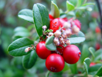 THE Perennial berry list with over 30+ berries you can grow in temperate climates: Little known lignonberries