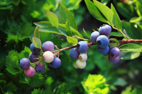 THE Perennial berry list with over 30+ berries you can grow in temperate climates: and in your own back yard!: Low Bush Blueberries