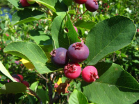 THE Perennial berry list with over 30+ berries you can grow in temperate climates: Serviceberry or Juneberry