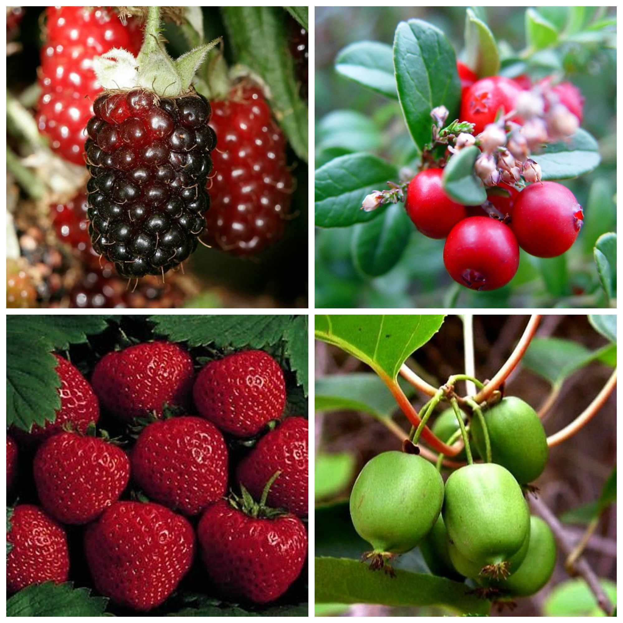 THE Perennial berry list with over 30+ berries you can grow in temperate climates