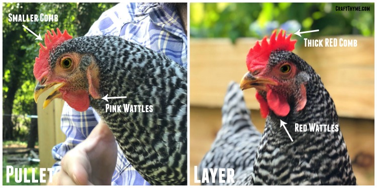 Difference between a pullet and laying hen