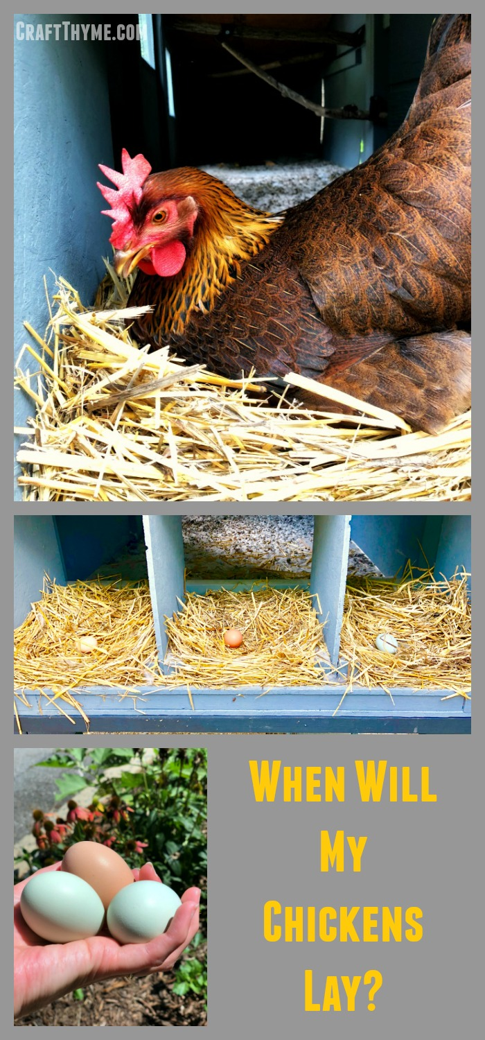 How to know when your chickens will start laying eggs