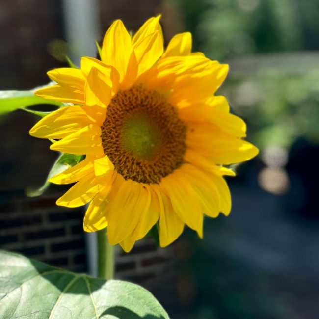 Can anyone be sad when looking at a sunflower?