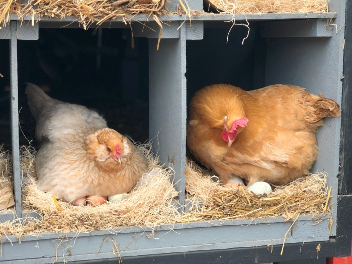 Chickens in nesting boxes laying fresh eggs