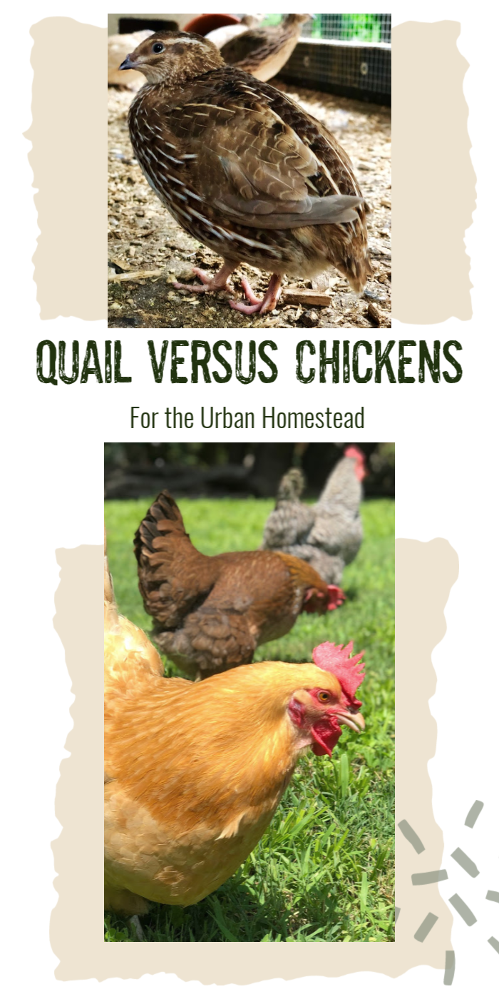 A comparison of chickens versus quail based on important factors for the urban homestead.